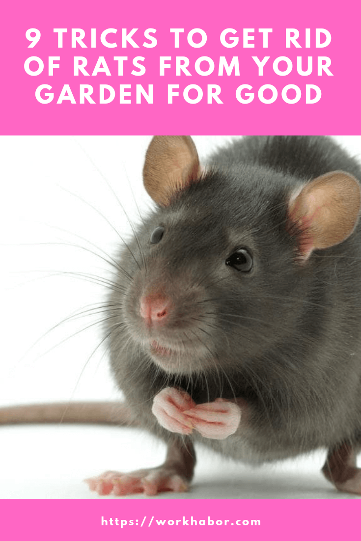 how to get rid of rats from your garden for good
