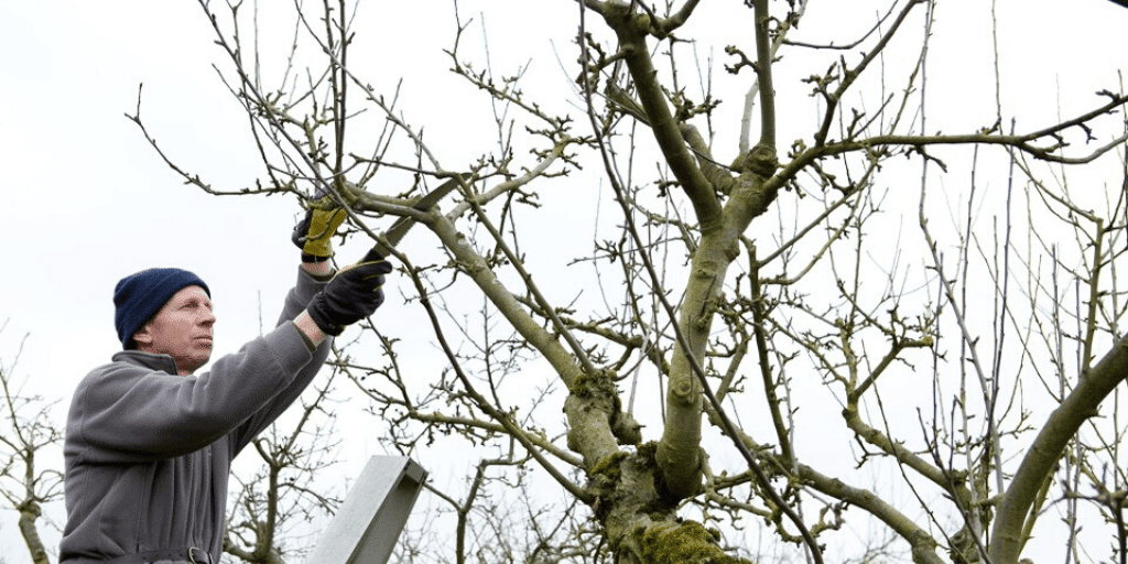 How To Trim Old Trees